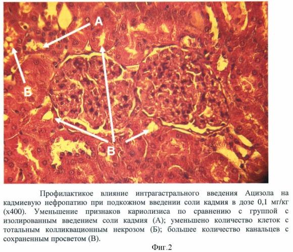 Способ профилактики кадмиевой нефропатии у экспериментальных животных при хроническом отравлении