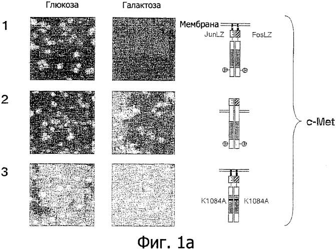 Способ идентификации и/или проверки ингибиторов рецепторных тирозинкиназ