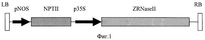Рекомбинантная плазмида, обеспечивающая экспрессию гена экстраклеточной рибонуклеазы zinnia elegans zrnaseii в трансгенных растениях (варианты), и способ получения вирусоустойчивых форм растений