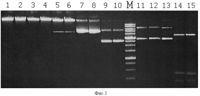 Штамм бактерии kocuria rosea - продуцент сайт-специфической эндонуклеазы kroi