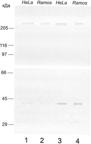 Пептид, стимулирующий образование специфических антител против мономерной формы нуклеофозмина в опухолевых клетках