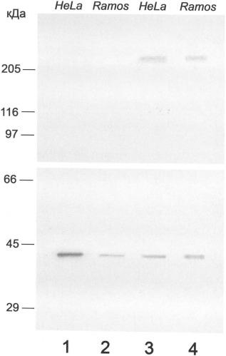Пептид, стимулирующий образование специфических антител против олигомерной формы нуклеофозмина в опухолевых клетках