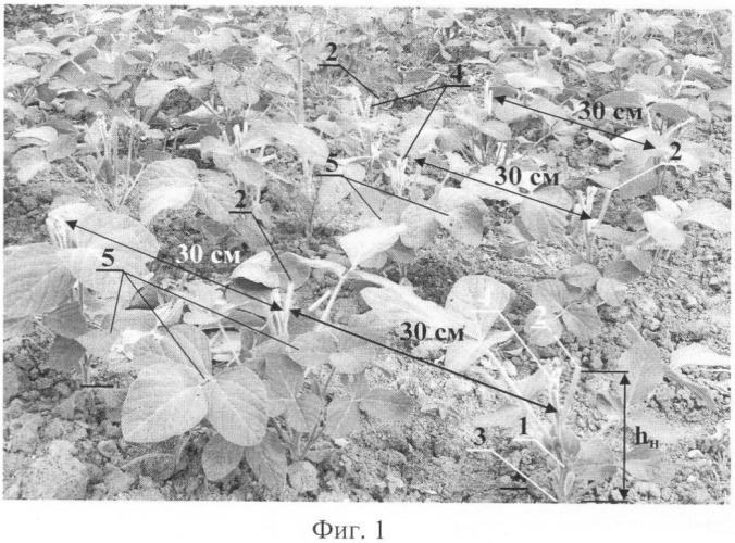 Способ агротехнической мелиорации посевов сои