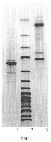 Штамм bacillus species, способный к росту в среде с повышенным содержанием бутанола