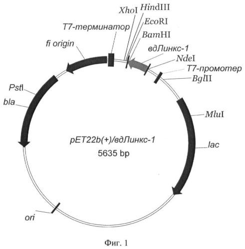 Рекомбинантная плазмидная днк pet22b(+)/вд-линкс1, кодирующая белок со свойствами линкс1, и штамм бактерий escherichia coli bl21(de3)/pet22b(+)/вд-линкс1-продуцент белка со свойствами линкс1 человека