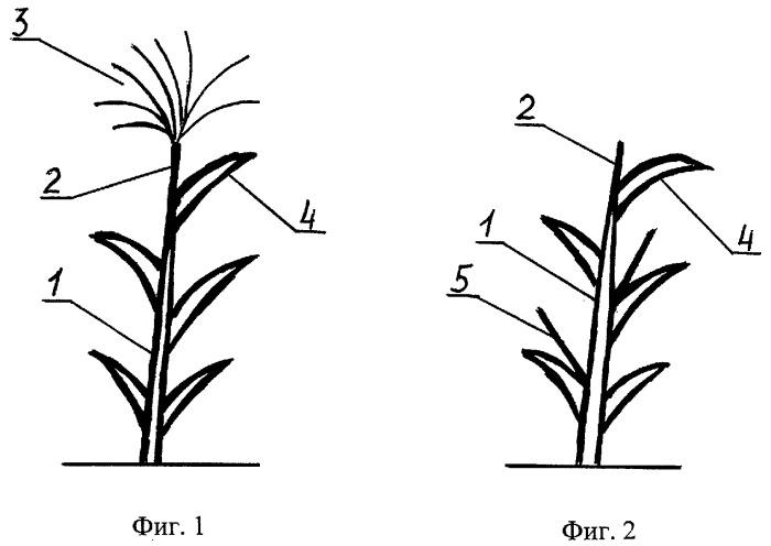 Способ повышения концентрации сахаров в соке стебля сахарного сорго в процессе технологии возделывания