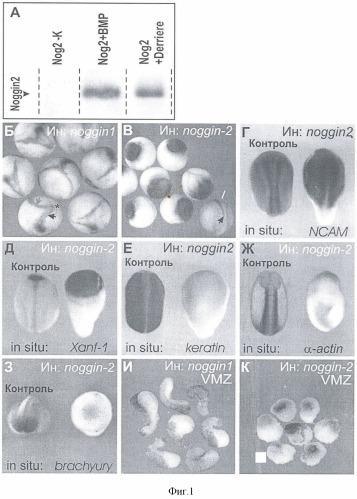 Способ блокирования сигнального пути, активируемого tgf-beta фактором derriere в клетках животных