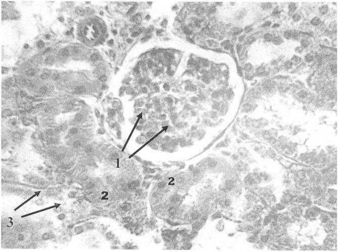 Способ моделирования хронической токсической нефропатии