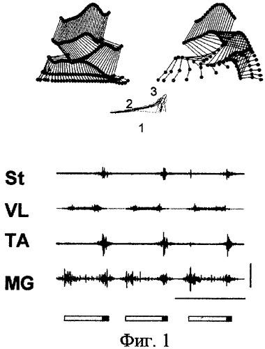Способ моделирования хронического поражения спинного мозга и обучение его лечению на мелких лабораторных животных
