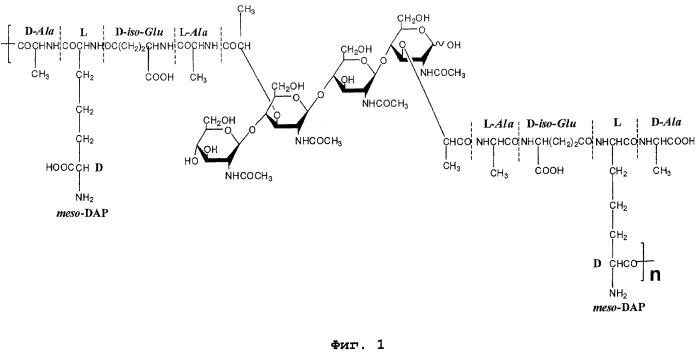 Полимерный фрагмент пептидогликана клеточной стенки грамотрицательных бактерий, способ его получения и его применение в качестве иммуностимулятора
