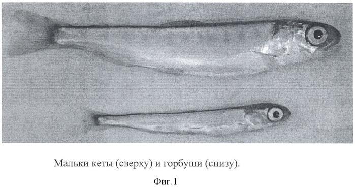 Способ получения культуры клеток дальневосточных лососей