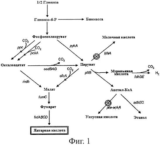 Новый сконструированный микроорганизм, продуцирующий гомо-янтарную кислоту, и способ получения янтарной кислоты с его применением