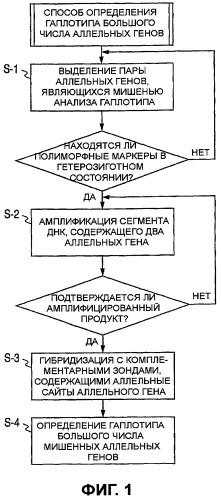 Способ определения гаплотипа множественных аллельных генов