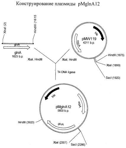 Способ получения l-аминокислоты семейства глутамата с использованием бактерии, принадлежащей к роду escherichia