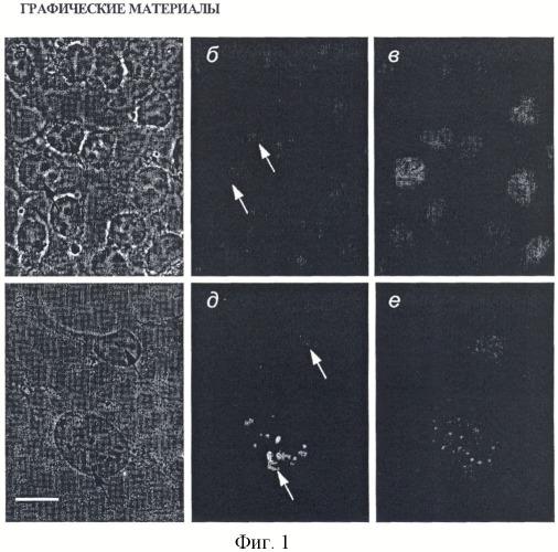 Мышиная гибридома s148 - продуцент моноклонального антитела к белку ядрышка surf-6 млекопитающих