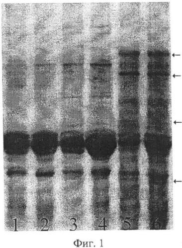 Способ выявления апомиктичных растений сорго, возникших за счет псевдогамной формы диплоидного апомиксиса