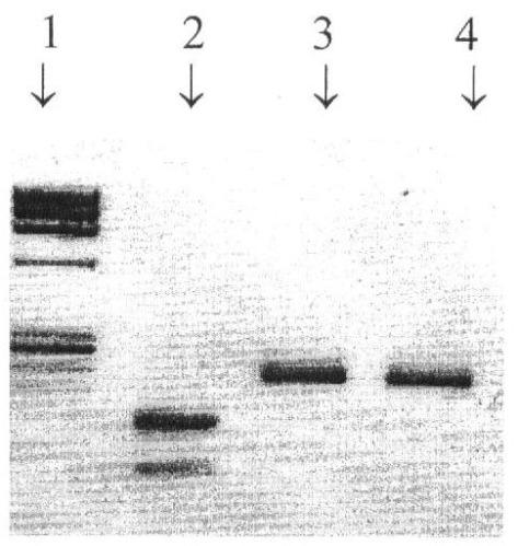 Вакцинный штамм вируса гриппа а/17/соломоновы острова/06/9 (h1n1) для производства живой гриппозной интраназальной вакцины для взрослых и для детей