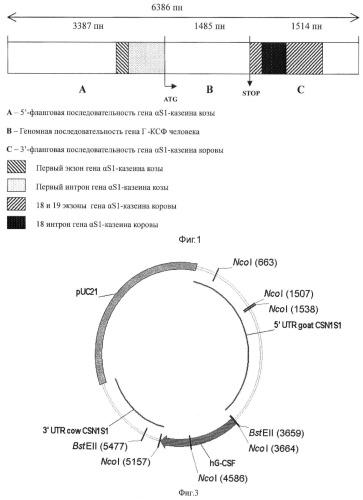 Генно-инженерная конструкция pgoatcasgcsf, обеспечивающая продукцию гранулоцит-колониестимулирующего фактора человека в молоко трансгенных животных