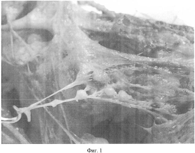 Способ моделирования неолимфогенеза в эксперименте