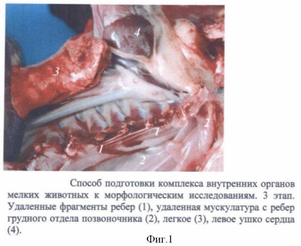 Способ подготовки комплекса внутренних органов мелких животных к морфологическим исследованиям