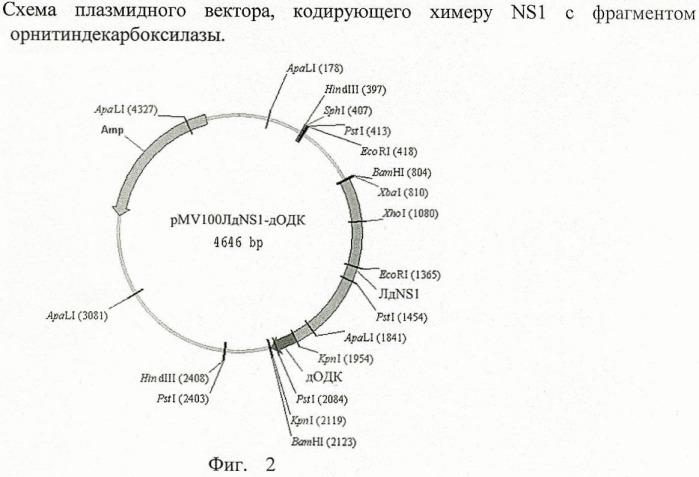 Рекомбинантная бактерийная плазмида, экспрессирующая белок патогена и биологически активный фрагмент орнитиндекарбоксилазы в клетках млекопитающих, предназначенная для разработки средств профилактики вирусных инфекционных заболеваний (на примере вируса клещевого энцефалита)