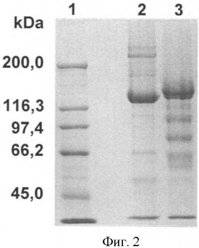 Peg-илированный мутированный токсин clostridium botulinum