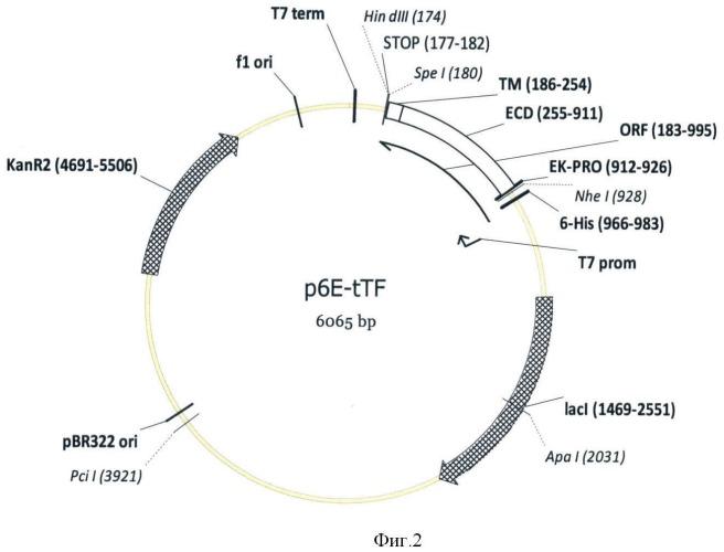 Экспрессионная плазмидная днк p6e-ttf, кодирующая внеклеточный и трансмембранный домены тканевого фактора человека и штамм e.coli bl21[de3]/p6e-ttf-продуцент рекомбинантного тканевого фактора человека