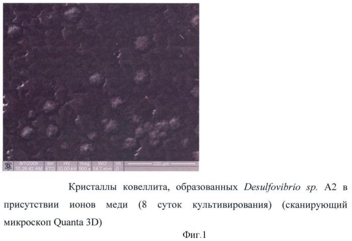Способ получения ковеллита с использованием сульфатредуцирующих бактерий, устойчивых к меди