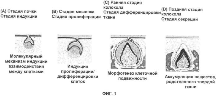 Способ формирования зуба, зубной ряд и способ формирования ткани