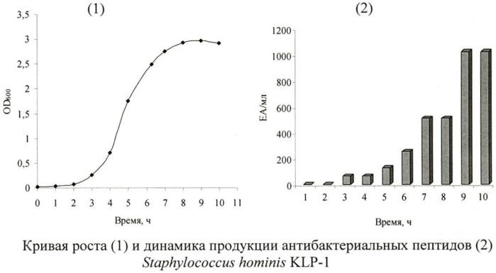 Штамм staphylococcus hominis klp-1 - продуцент низкомолекулярных пептидных соединений, ингибирующих развитие грамположительных бактерий