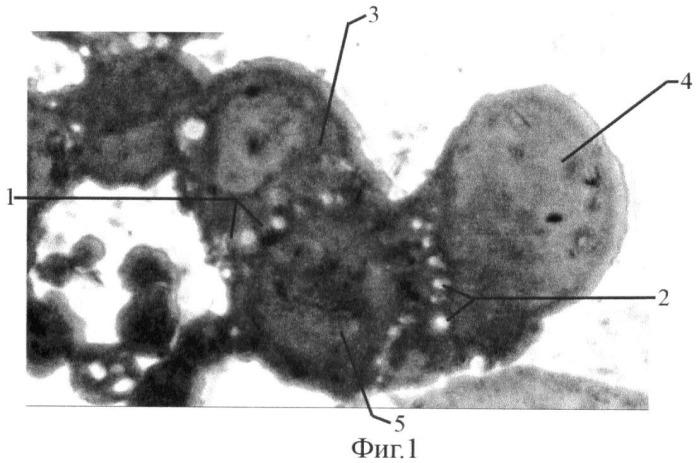 Способ моделирования синтициальных связей между клетками in vitro