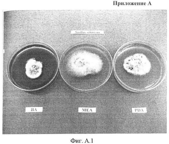 Средство для увеличения приживаемости и стимуляции роста сеянцев и саженцев сосны сибирской