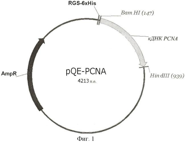 Мышиная гибридома р56 - продуцент моноклонального антитела, обладающего специфичностью к ядерному антигену пролиферирующих клеток pcna человека
