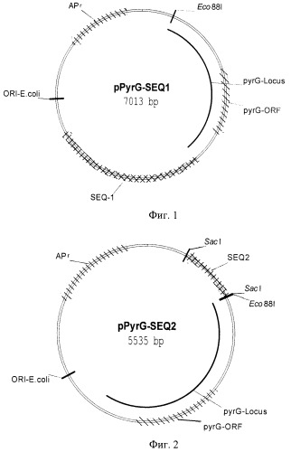 Генетическая конструкция для получения стабильных трансформантов грибов рода rhizopus
