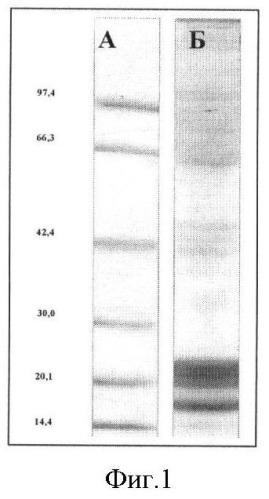 Способ получения моноклональных антител к аблюминальному мембранному антигену церебральных эндотелиоцитов
