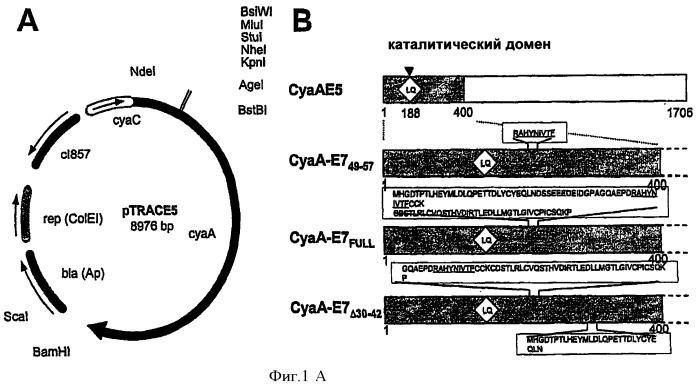 Рекомбинантный белок, несущий эпитопы вируса папилломы человека, встроенные в белок аденилатциклазу или его фрагмент, его терапевтическое применение