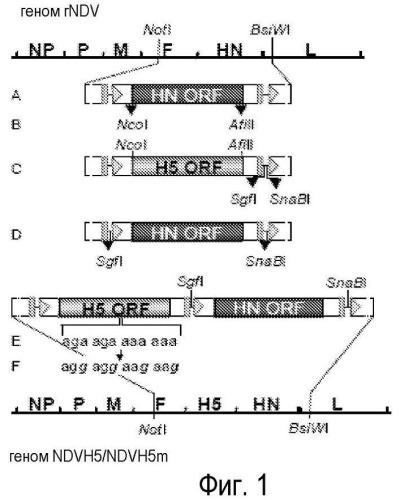 Рекомбинантный вирус болезни ньюкастла, экспрессирующий н5 гемаглютинин вируса птичьего гриппа (avian ineluenza)
