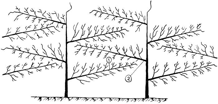 Способ формирования кроны плодовых деревьев