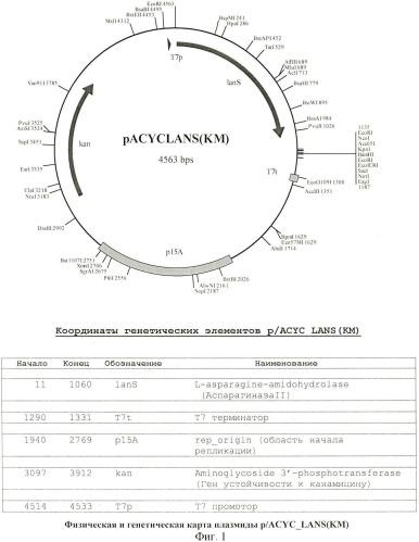 Рекомбинантная плазмидная днк pacyc-lans(km), штамм escherichia coli bl21(de3), трансформированный рекомбинантной днк pacyc-lans(km), и способ получения рекомбинантной l-аспарагиназы erwinia carotovora