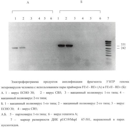 Способ идентификации 5'-нтр генома энтеровирусов геногруппы эвi и геногруппы эвii с использованием полимеразной цепной реакции