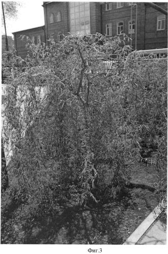 Способ выращивания штамбовой формы свердловской извилистой плакучей ивы