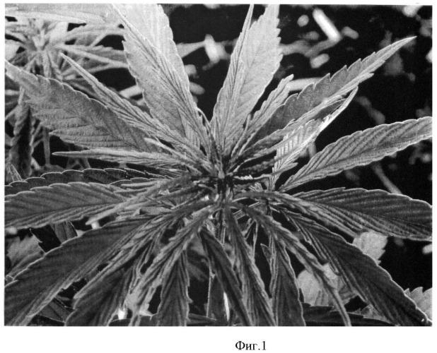 Способ отбора растений конопли на содержание в них каннабиноидов