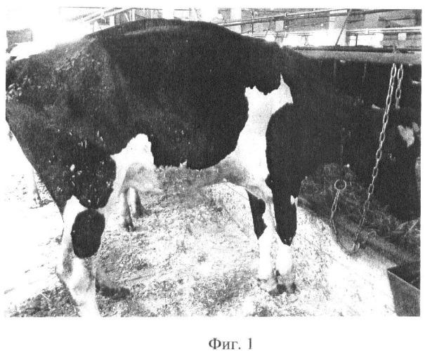 Способ лечения гнойно-некротических поражений копытец у крупного рогатого скота