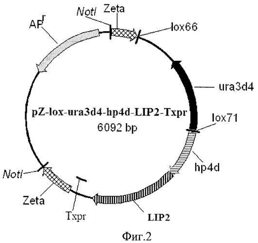 Рекомбинантный штамм дрожжей yarrowia-lipolytica - продуцент липазы