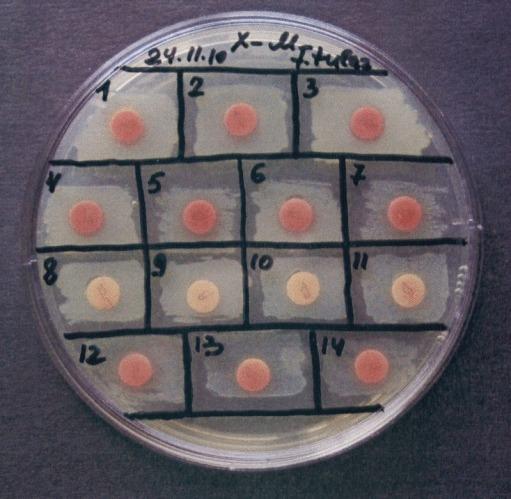 Способ дифференциации бактерий francisella tularensis subsp. mediasiatica