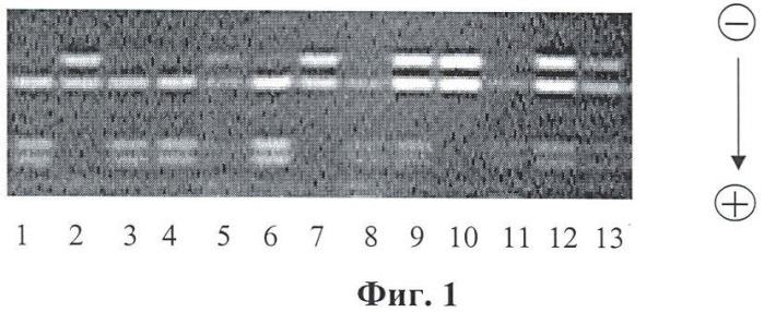 Способ прогнозирования почечной выживаемости у больных хроническим гломерулонефритом