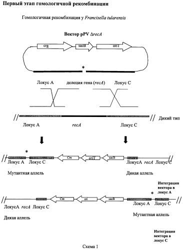 Способ стабилизации вакцинного туляремийного штамма
