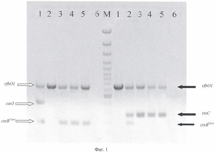 Способ идентификации токсигенных штаммов v. cholerae o1, определения их биовара и дифференциации штаммов биовара эльтор на типичные и измененные методом мультиплексной полимеразной цепной реакции и тест-система для его осуществления
