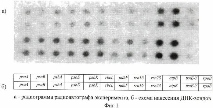 Способ регуляции транскрипции хлоропластных генов ячменя (hordeum vulgare)