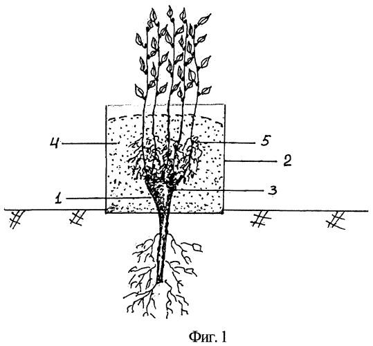 Способ размножения плодовых культур и винограда